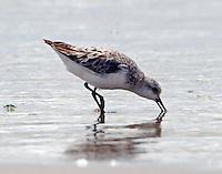 Sanderling in post-breeding plumage on July 4