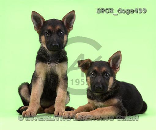 Xavier, ANIMALS, dogs, photos(SPCHdogs499,#A#) Hunde, perros