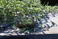 Beifuss-Ernte, Beifussernte, Beifuß-Ernte, Ernte der Blütenknospen, Kräuterernte, Kräuter sammeln, Beifuß, Gewöhnlicher Beifuß, Beifuss, Artemisia vulgaris, Mugwort, common wormwood, wild wormwood, wormwood. L'Armoise commune, L'Armoise citronnelle
