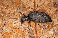 Ölkäfer, Maiwurm, Maiwurmkäfer, Maiwurm-Käfer, Meloe murinus, Eurymeloe murinus, blister beetle, oil beetle, Ölkäfer, Meloidae, blister beetles, oil beetles, Méloidé, Korsika, Corsica