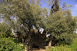 Israel, Jerusalem Mountains, Olive tree (Olea europaea) on Mount Tzuba