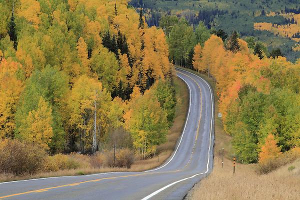 Aspen trees along highway in the San Juan Mountains near Telluride, Colorado, USA. John offers autumn photo tours throughout Colorado.
