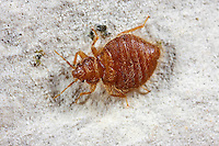 Schwalbenwanze, Oeciacus hirudinis, Martin Bug, Cimicidae