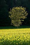 DEU, Deutschland, Bayern, Niederbayern, Naturpark Altmuehltal, einzelner Baum im Rapsfeld | DEU, Germany, Bavaria, Lower Bavaria, Nature Park Altmuehltal, single tree in canola field