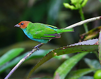 Male bay-headed tanager