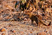 africa, Zambia, South Luangwa National Park,  Slender mongoose,Galerella sanguinea