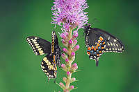 Eastern Black Swallowtail Butterfly (Papilio polyxenes asterius) male (left) and female on Blazing Star/Gayfeather (Liatris spicata 'Kobold') in backyard garden. Summer. Nova Scotia, Canada.
