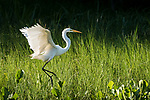 Damon, Texas; a great egret landing along the edge of the slough, backlit by the late afternoon sunlight
