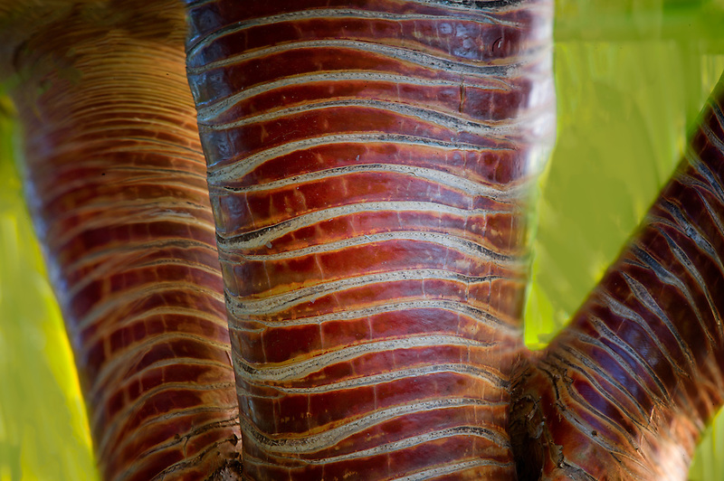 Close up of bark on Pandanus Tree. Bora Bora. French Polynesia.