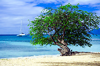 Beautiful tree on a white sand beach in front of the turquoise sea with a luxury sailing boat, in La Martinique Island, Caribbean Windward Islands