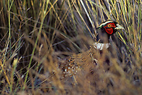 Male Ring-necked pheasant (Phasianus colchicus)  Fall.