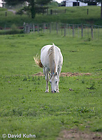 0509-0906  Grey Dutch Warmblood Mare, Horse Grazing in Pasture, Equus ferus caballus  © David Kuhn/Dwight Kuhn Photography