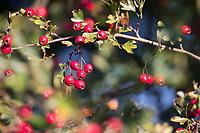 Eingriffliger Weißdorn, Eingriffeliger Weißdorn, Weissdorn, Weiß-Dorn, Weiss-Dorn, Hagedorn, Früchte, Frucht, Beeren, Beere, Crataegus monogyna, hawthorn, common hawthorn, oneseed hawthorn, single-seeded hawthorn, English Hawthorn, May, fruit, berry, berries, L'Aubépine monogyne, L'Aubépine à un style