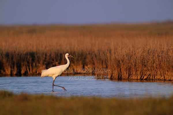 Whooping Crane (Grus americana), adult, Seadrift, San Antonio Bay, Gulf Intracoastal Waterway, Coastal Bend, Texas Coast, USA