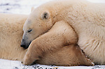 Two Polar bears sleeping.