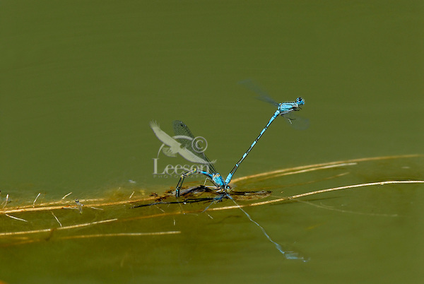 Bluet Damselflies [I believe they are Tule Bluets (Enallagma carunculatum)] mating--egg laying.  Pacific Northwest.  Summer.
