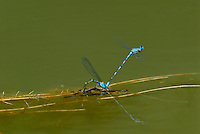 Bluet Damselflies [I believe they are Tule Bluets (Enallagma carunculatum)] mating--egg laying.  Pacific Northwest.  Summer.