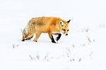 Adult red fox (Vulpes vulpes) walking through deep winter snow. Hayden Valley, Yellowstone, USA. January