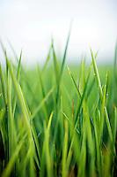 Rice growing in field in Arkansas