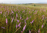 Nachusa Grasslands Natural Area, Illinois: Tallgrass prairie with native grasses and blazing star (Liatris sp) and bison herd grazing on the distant hillside