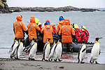 A group of king penguins (Aptenodytes patagonicus) lwalking along the beach ijn front of tourists landing. St Andrews Bay, South Georgia, South Atlantic.