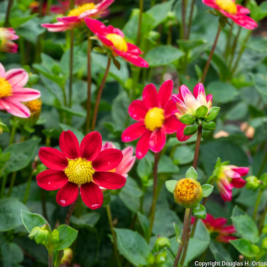Dahlia blooms burst with bright colors.  Point Defiance Park, Tacoma, WA boasts wonderful gardens including rose gardens, dahlia garden, native plant, rhododendron and acres of old growth forest.  Hike, bike, photograph, fish, picnic, kayak