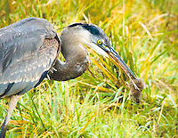 Gift card photo (set of 4) of a great blue heron in a grassy field has a vole trapped by his tail in its beak with vole looking very surprised facing viewer and knowing look of what is going to happen next.  As seen in the Ridgefield National Wildlife Refuge.