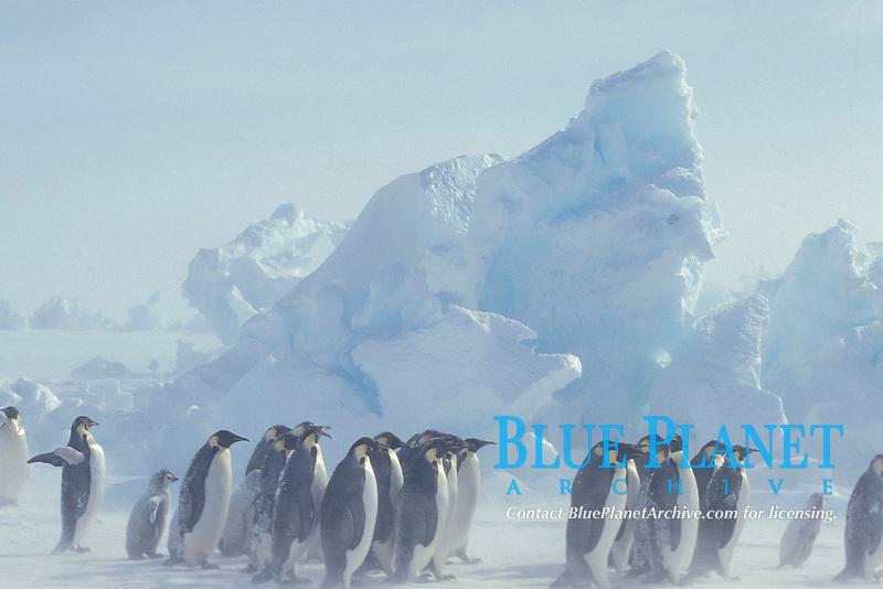Emperor penguin, Aptenodytes forsteri, Dawson Lambton Glacier, Antarctic Ocean