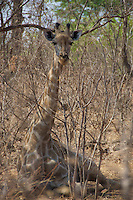 A young giraffe perfectly camouflaged among the trees in Victoria Falls, Zambia Africa.