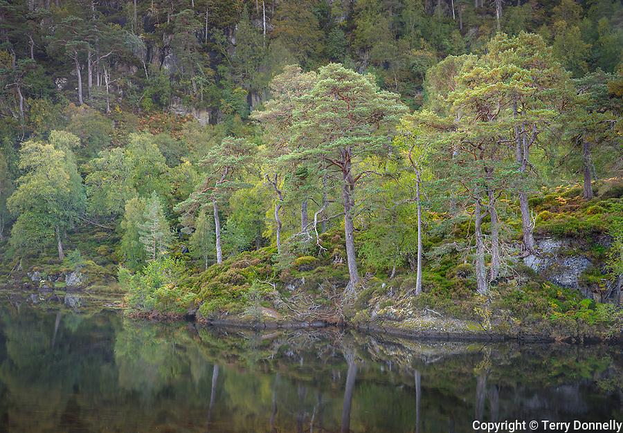 Western Highlands, Scotland: River Farrar and ancient Caledonian pine forested hillside in Glen Strathfarrar