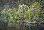 Western Highlands, Scotland: River Farrar and ancient Caledonian pine forested hillside in Glen Strathfarrar