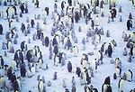 Emperor Penguins with chicks, Halley Bay, Antarctica