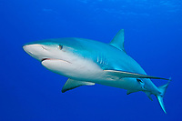 Caribbean Reef Shark, Carcharhinus perezii, West End, Grand Bahama, Bahamas, Caribbean, Atlantic Ocean