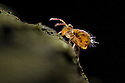 Globular Springtail {Dicyrtomina saundersi} on decaying wood. Derbyshire, UK. November.