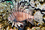 Red lionfish facing left full body view.