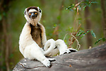 Adult Verreaux's sifaka (Propithecus verreauxi) resting in forest understorey, Berenty gallery forest, southern Madagascar.