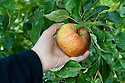Picking an apple ('Peasgood's Nonsuch'), mid September. To tell whether it is ready to pick, cup it lightly in your palm and twist gently. If it comes away easily with the stalk attached, it is ready. If it doesn't, leave it.