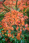 Kubota Garden, Seattle, WA:  Fall colored branches of a Japanese maple