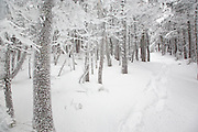 Snow covered softwood forest along the Hancock Loop Trail in the White Mountains of New Hampshire during the winter months.