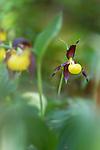 Lady's slipper orchids (Cypripedium calceolus) in flower in spring in woodland. Nordtirol, Austrian Alps. June.
