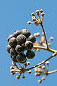 Ivy (Hedera helix) berries. Peak District National Park, Derbyshire, UK. April.