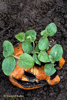 DC08-008e  Decaying pumpkin with seedlings growing out of it