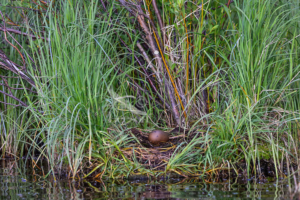 Common Loon (Gavia immer) nest with one egg.  Northern North America, Summer.  Sometimes also called Great Northern Loon or Diver.