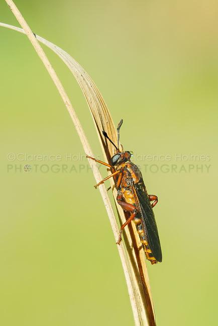 A female Mydas Fly (Phyllomydas parvulus) perches on vegetation.