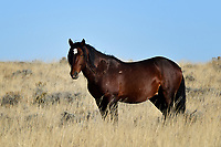 Wild Horse, McCullough Peaks Range, Cody, Wyoming