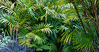 Foliage palm leaf tapestry hedge of hardy parlor palm, Chamaedorea radicalis with orange flower Broleliad (Dykia); Worth Garden, California