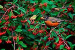 Robin feeding on plentiful berries in Point Reyes National Seashore.