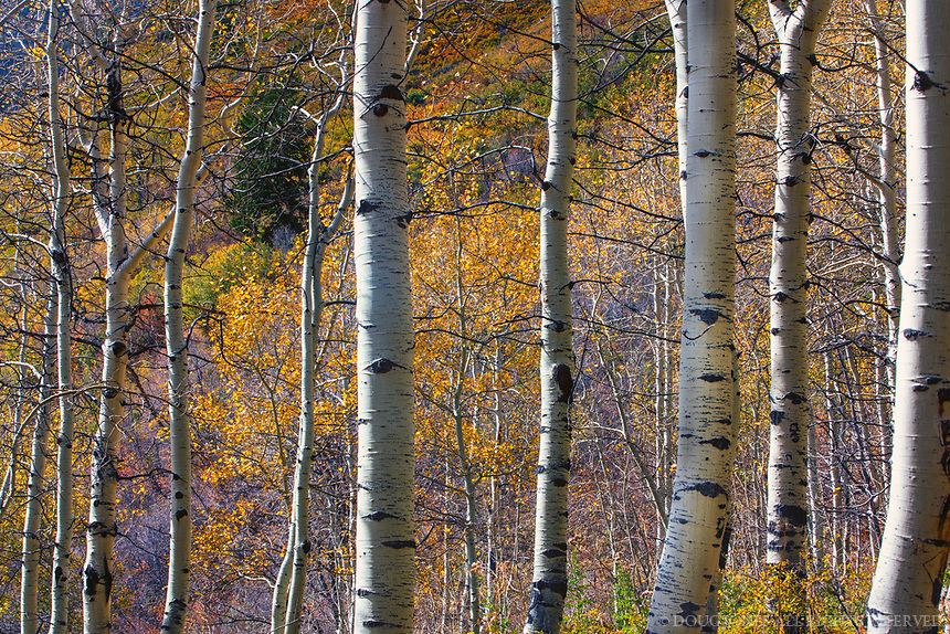 Taken on the Alpine Loop on Route 92 above Sundance Resort in Utah.  These aspens at the highest elevations were still colorful in mid October.