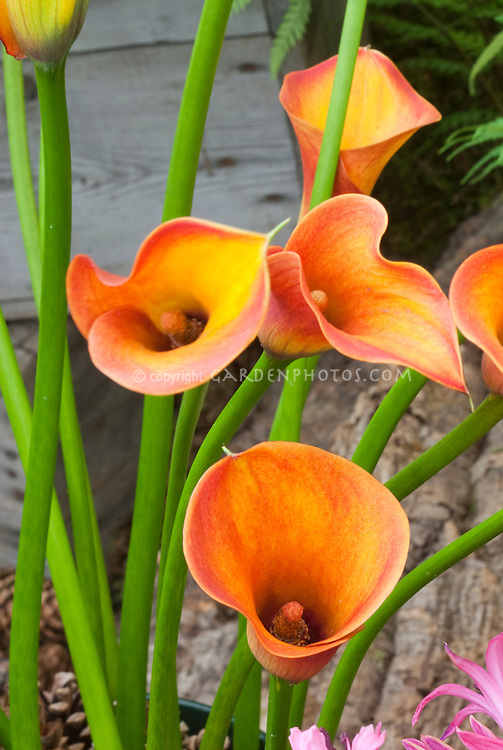 Calla lily Captain Safair, orange with red flowers