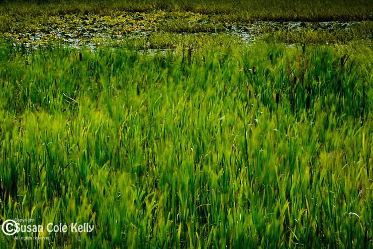 Seaside wetland near Quoddy Head State Park, Lubec, Downeast, ME NOTE: ABSTRACT, Motion-Blur effect.